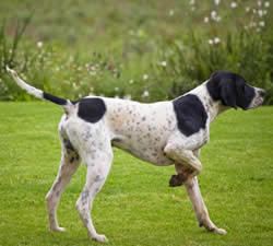 Pointer Dog
