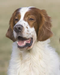 Red and White Irish Setter