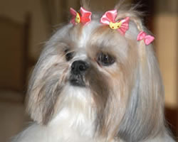 Shih Tzu Names: Find 101 Names and Meanings for your Shih