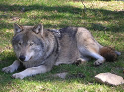 Wolf Names: More than 125 Wolf Dog Names and Meanings for