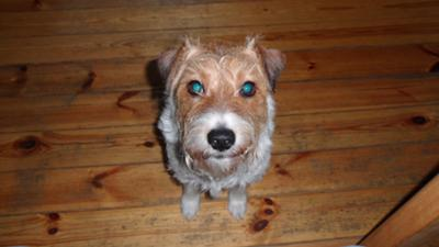 Jay, my Parson Russell Terrier