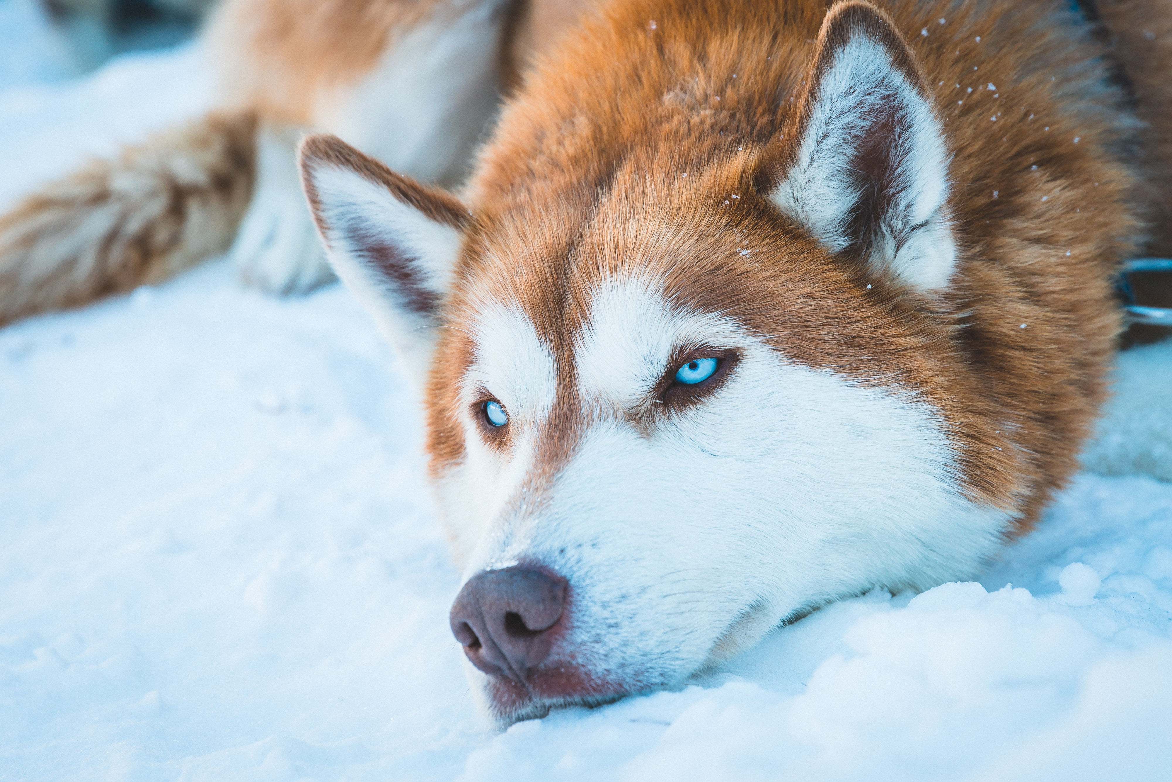Husky Dog Names - The best Husky Names for your Siberian